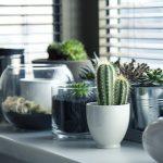 家の中の植物。サボテン